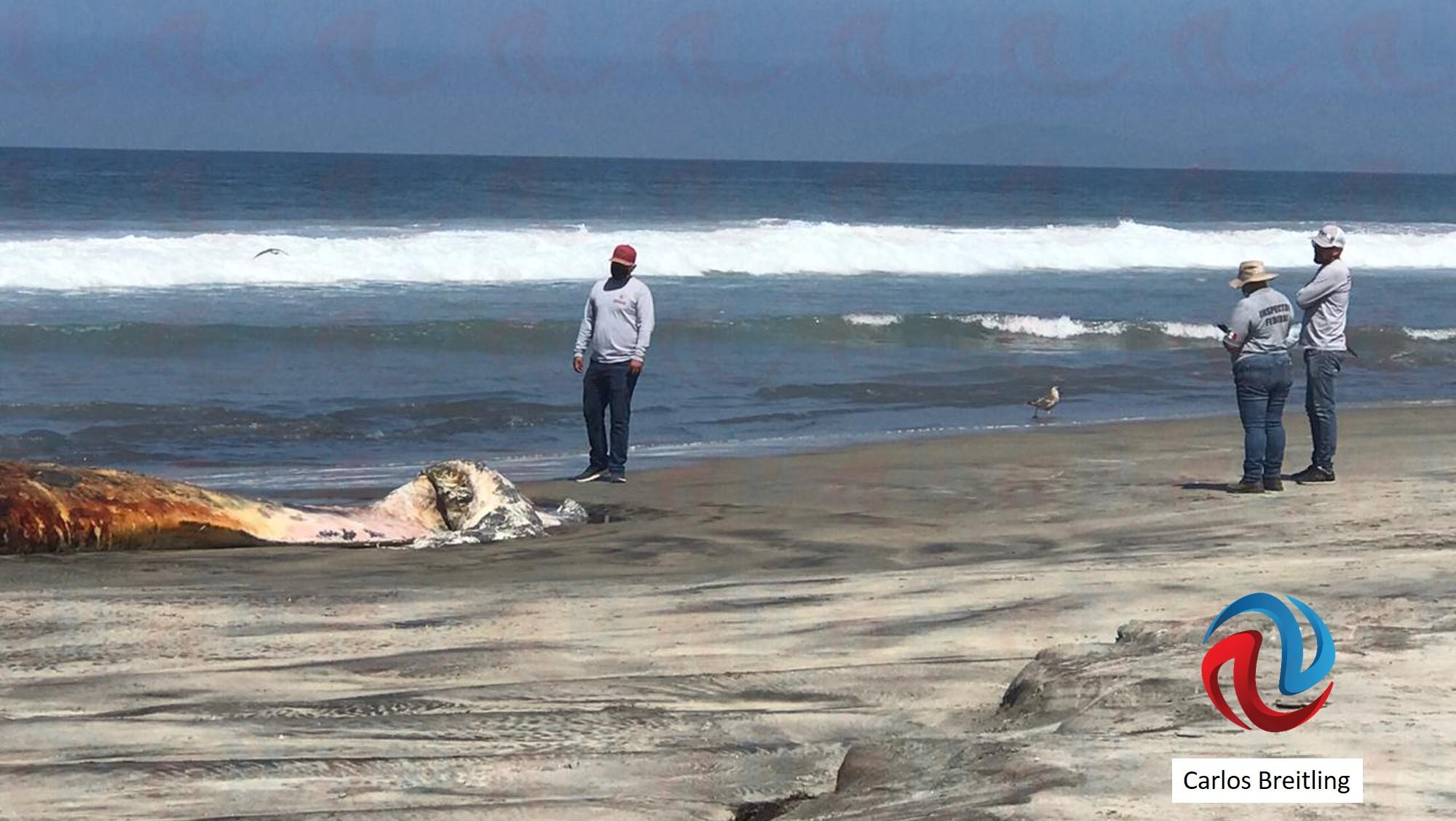 Otra ballena varada en Rosarito