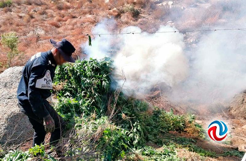 Destruyen casi 30 toneladas de marihuana en Tecate
