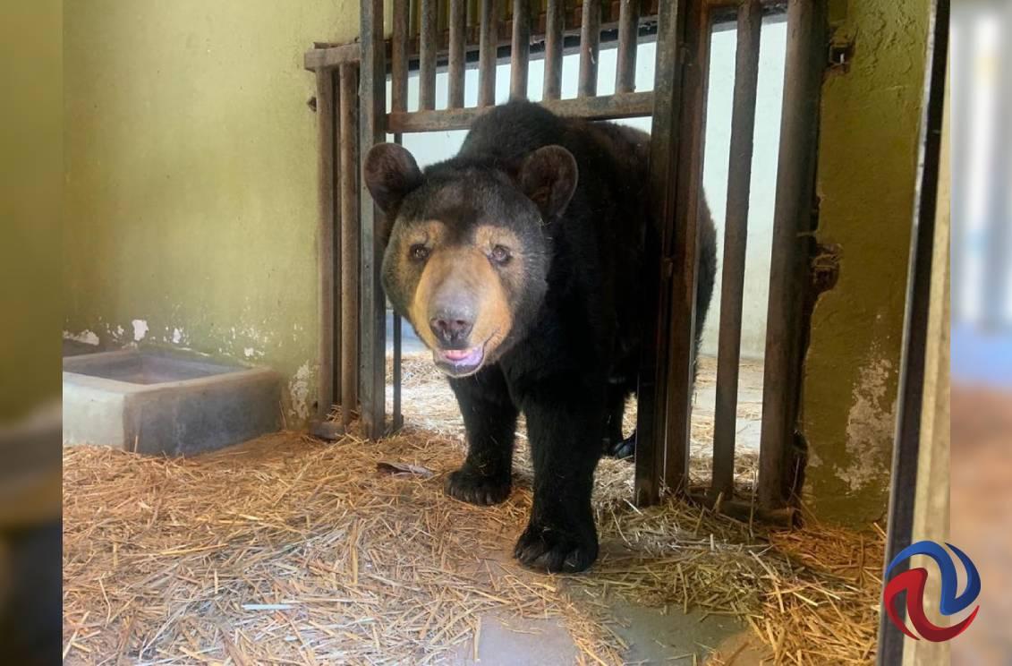 Continuarán la atención postquirúrgica a los osos Koda y Yogui