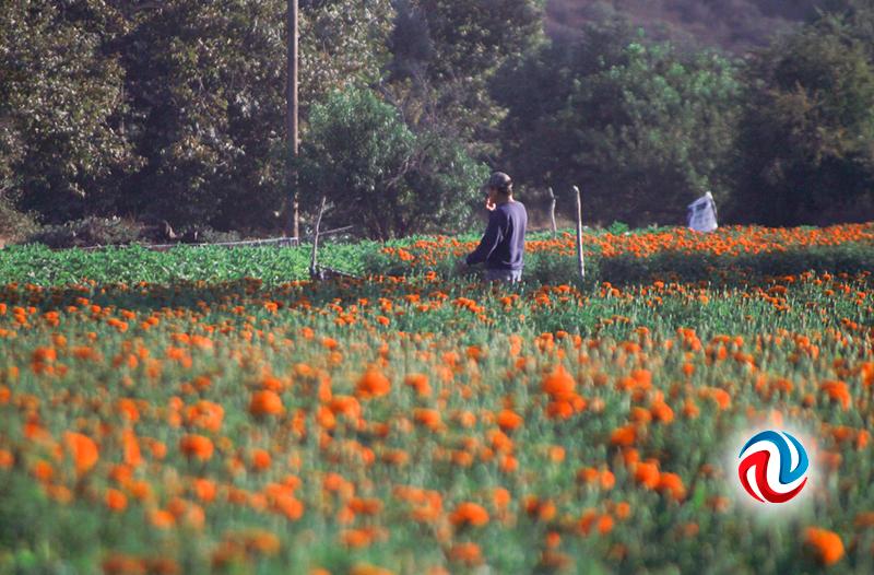 Confían que habrá buena venta de flores en Día de Muertos